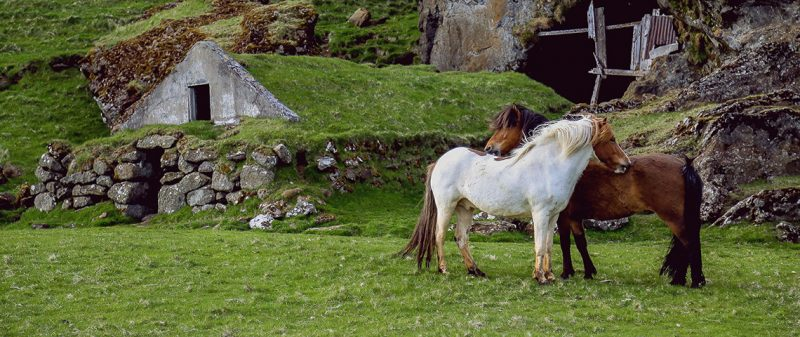 Love Story: Dying Horse Collapses And Is Miraculously Revived By Mate